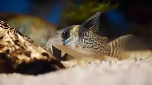 南美水族风格鱼缸7种绝配鱼 绵阳水族批发市场 绵阳水族批发市场第10张