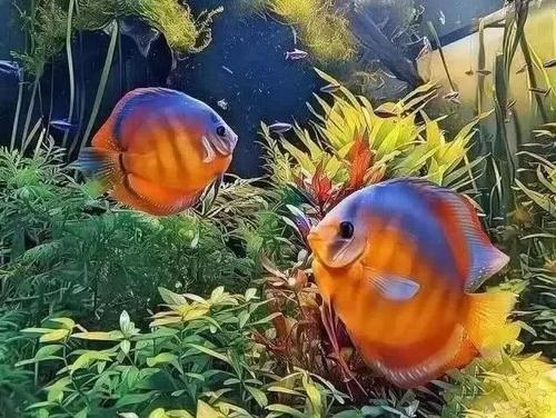 南美水族风格鱼缸7种绝配鱼 绵阳水族批发市场 绵阳水族批发市场第20张