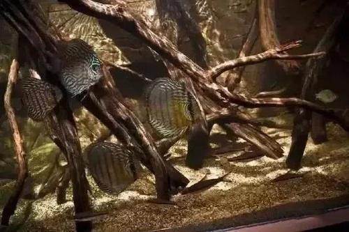 南美水族风格鱼缸7种绝配鱼 绵阳水族批发市场 绵阳水族批发市场第23张