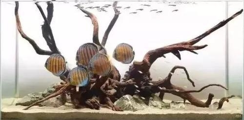 南美水族风格鱼缸7种绝配鱼 绵阳水族批发市场 绵阳水族批发市场第22张