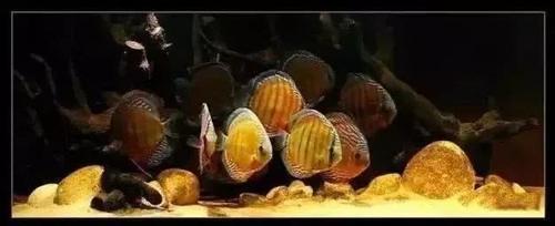 南美水族风格鱼缸7种绝配鱼 绵阳水族批发市场 绵阳水族批发市场第21张