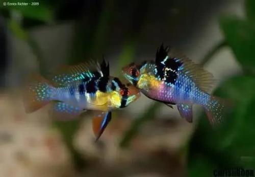南美水族风格鱼缸7种绝配鱼 绵阳水族批发市场 绵阳水族批发市场第24张