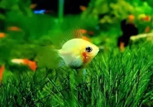 南美水族风格鱼缸7种绝配鱼 绵阳水族批发市场 绵阳水族批发市场第25张