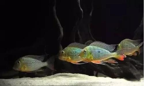 南美水族风格鱼缸7种绝配鱼 绵阳水族批发市场 绵阳水族批发市场第38张