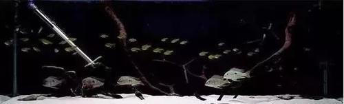 南美水族风格鱼缸7种绝配鱼 绵阳水族批发市场 绵阳水族批发市场第35张