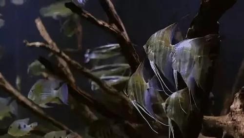 南美水族风格鱼缸7种绝配鱼 绵阳水族批发市场 绵阳水族批发市场第49张