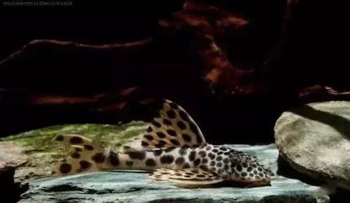 南美水族风格鱼缸7种绝配鱼 绵阳水族批发市场 绵阳水族批发市场第47张