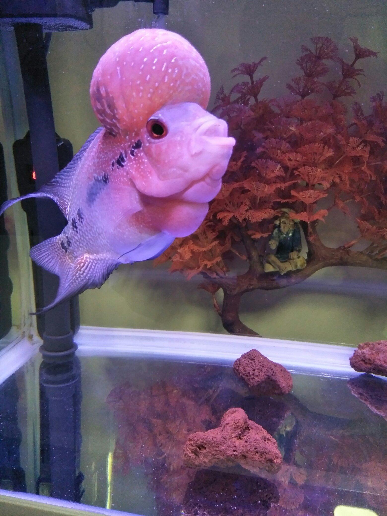 绵阳白化大白鲨哪个店的最好罗汉鱼 绵阳水族批发市场 绵阳水族批发市场第2张
