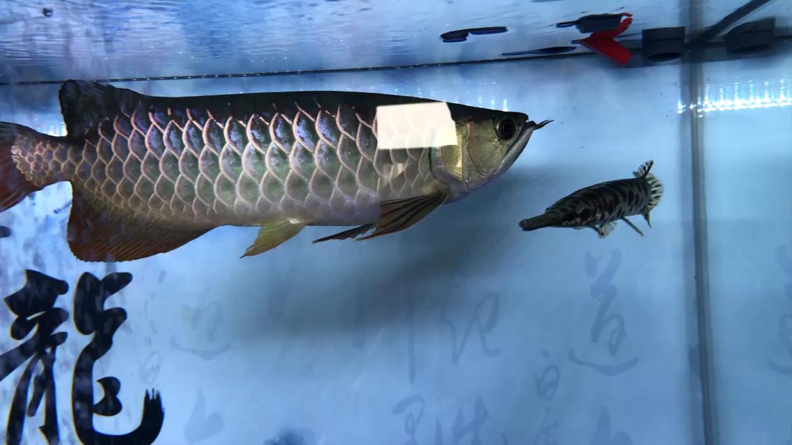 绵阳食土慈鲷鱼还记得它吗 绵阳龙鱼论坛 绵阳水族批发市场第1张
