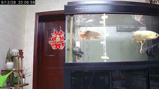红龙鱼金龙绵阳银龙鱼苗价格鱼 绵阳水族批发市场 绵阳水族批发市场第1张