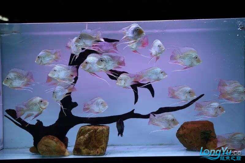 龙鱼高端配鱼进口元宝凤凰鱼绵阳 混养鱼(绵阳龙鱼配鱼) 绵阳水族批发市场第4张