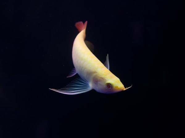 龙鱼批发市场龙鱼绵阳详细分类  绵阳龙鱼 绵阳水族批发市场第2张