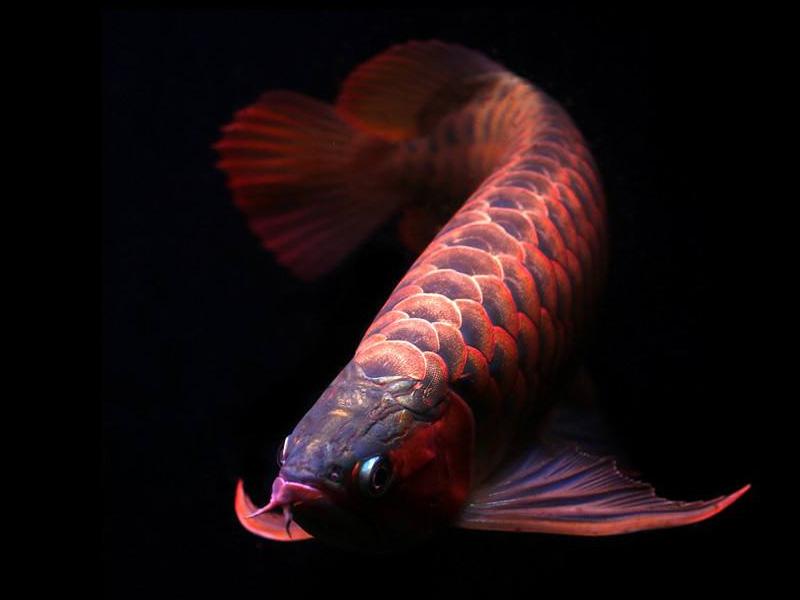 龙鱼批发市场龙鱼绵阳详细分类  绵阳龙鱼 绵阳水族批发市场第3张