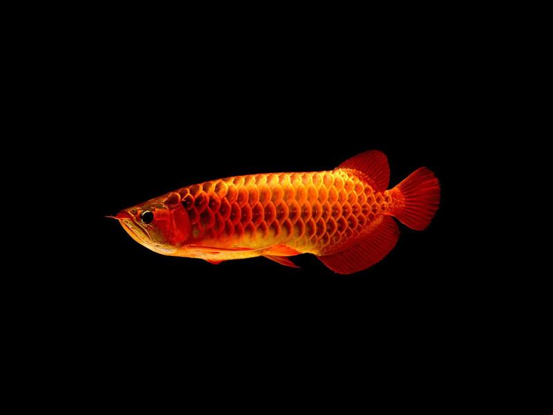 龙鱼批发市场龙鱼绵阳详细分类  绵阳龙鱼 绵阳水族批发市场第8张