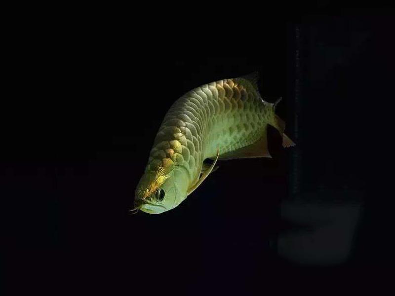 龙鱼批发市场龙鱼绵阳详细分类  绵阳龙鱼 绵阳水族批发市场第14张