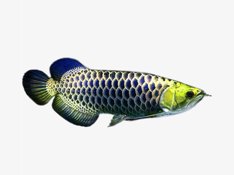 龙鱼批发市场龙鱼绵阳详细分类  绵阳龙鱼 绵阳水族批发市场第21张