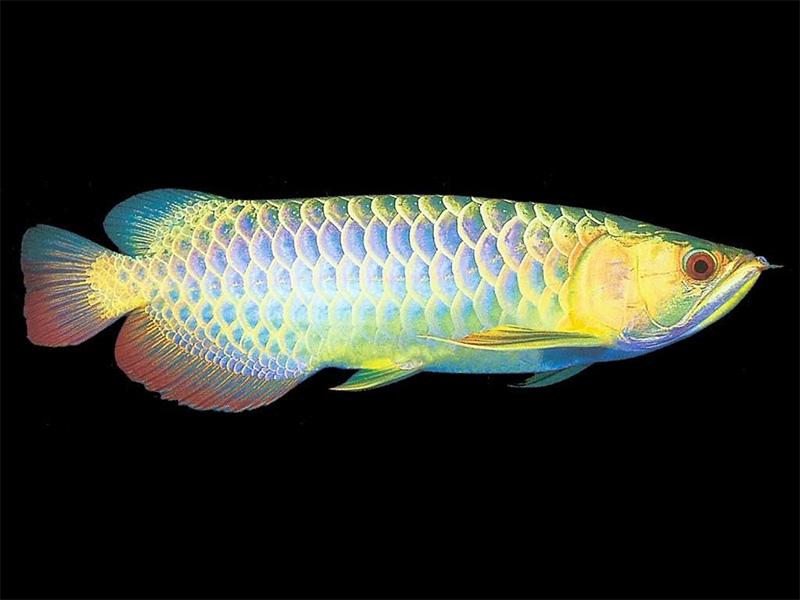 龙鱼批发市场龙鱼绵阳详细分类  绵阳龙鱼 绵阳水族批发市场第24张