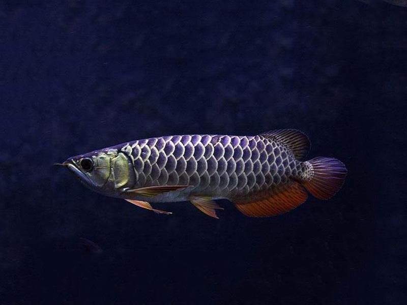 龙鱼批发市场龙鱼绵阳详细分类  绵阳龙鱼 绵阳水族批发市场第22张