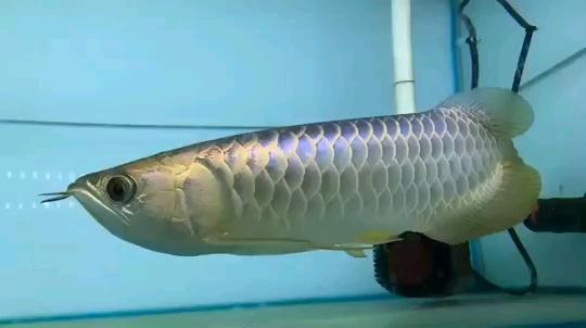 龙鱼批发市场龙鱼绵阳详细分类  绵阳龙鱼 绵阳水族批发市场第23张