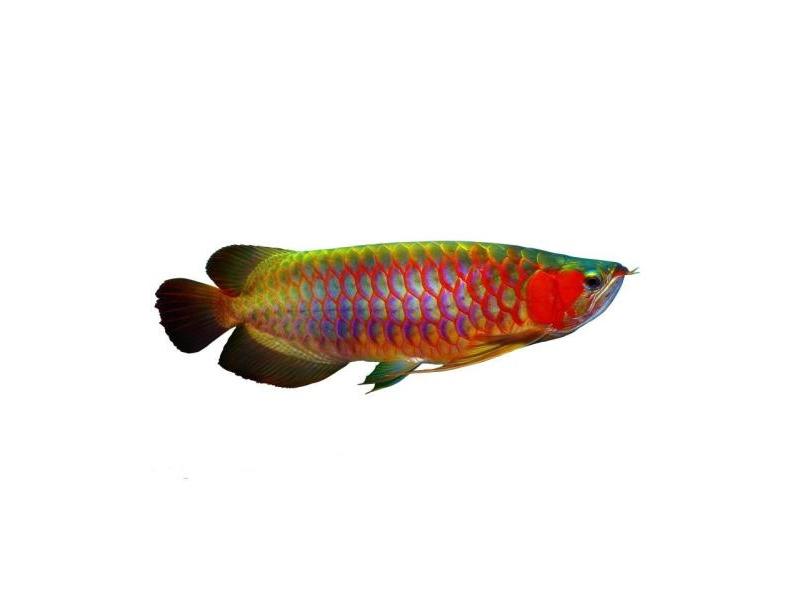 龙鱼批发市场龙鱼绵阳详细分类  绵阳龙鱼 绵阳水族批发市场第25张