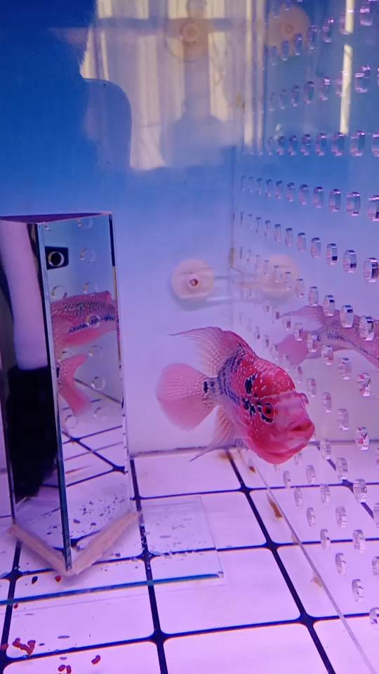 看看我的罗汉鱼新手 绵阳龙鱼论坛 绵阳水族批发市场第1张