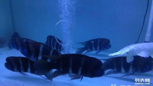 看看我的罗汉鱼新手 绵阳龙鱼论坛 绵阳水族批发市场第2张