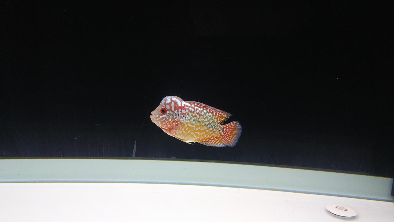 绵阳水族工程公司深夜喂鱼已经吃撑得游不动了 绵阳水族批发市场 绵阳水族批发市场第1张