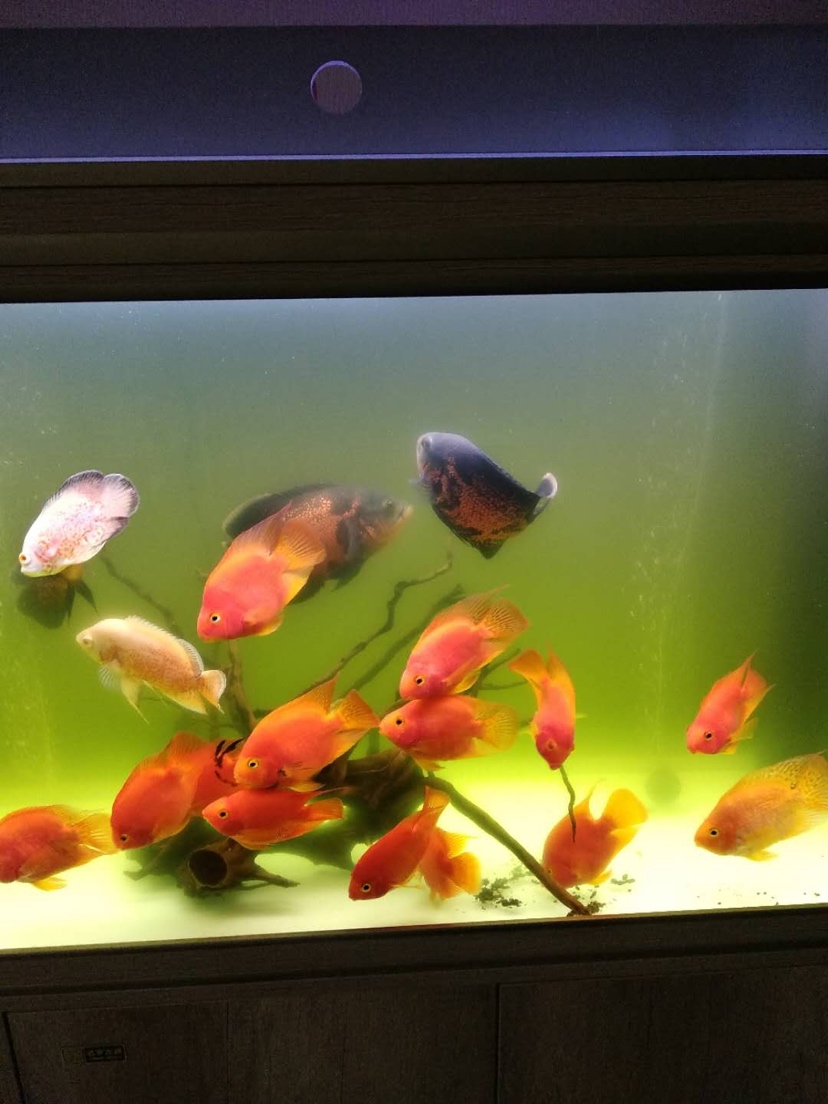 请教各位鱼友水总发绿是怎么回事啊? 绵阳龙鱼论坛 绵阳水族批发市场第2张