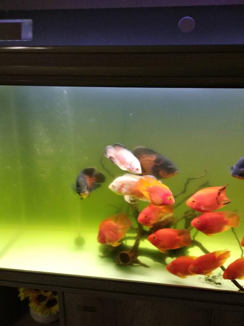 请教各位鱼友水总发绿是怎么回事啊?