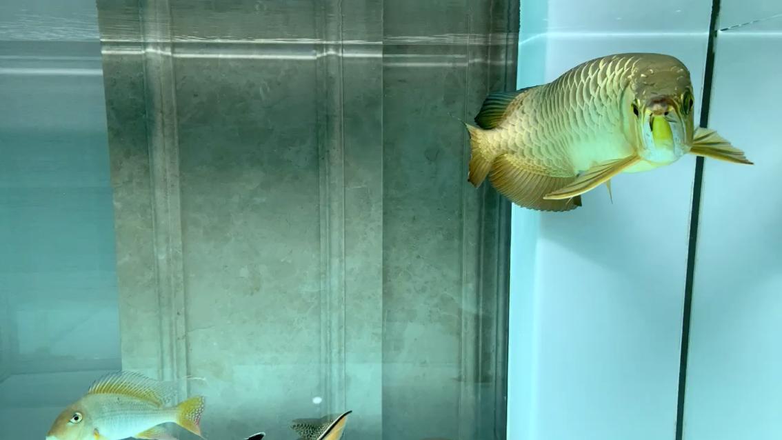 绵阳黑云(大吉大利)鱼批发换水好舒服