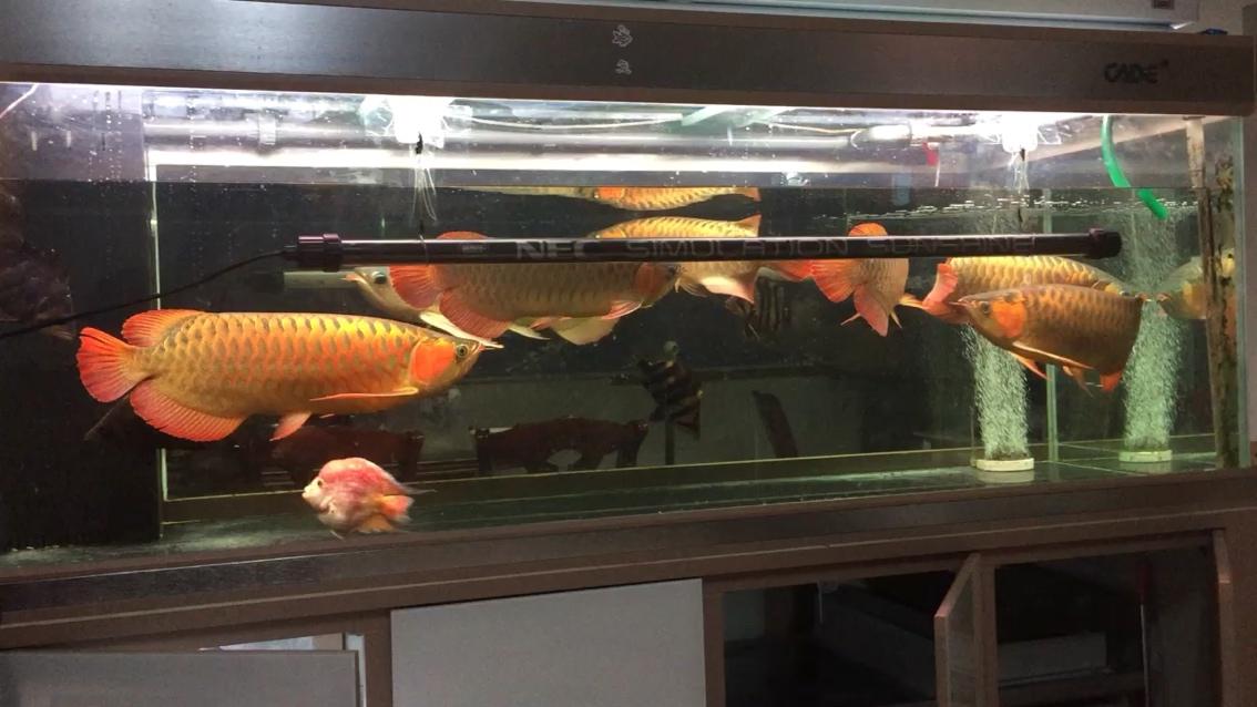 绵阳哪个水族馆有金龙天冷了到了上侧灯的季节了 绵阳龙鱼论坛 绵阳水族批发市场第1张