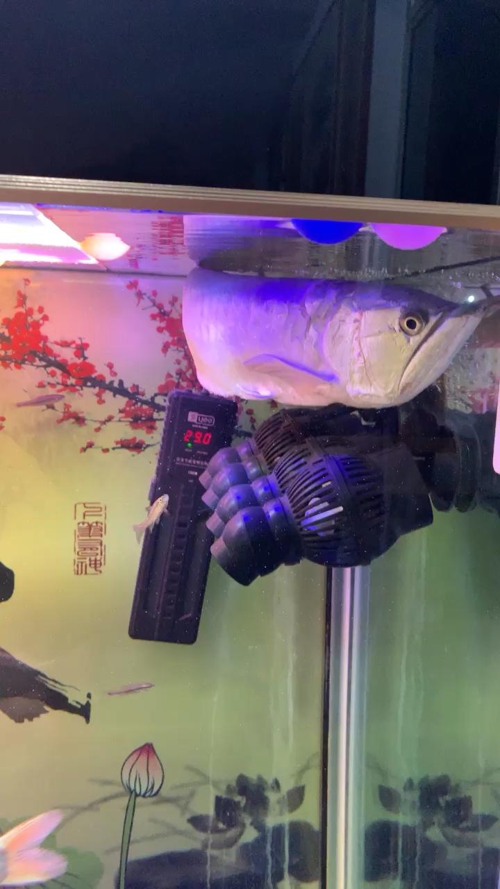 银龙鱼是不是浮背了? 绵阳龙鱼论坛 绵阳水族批发市场第1张