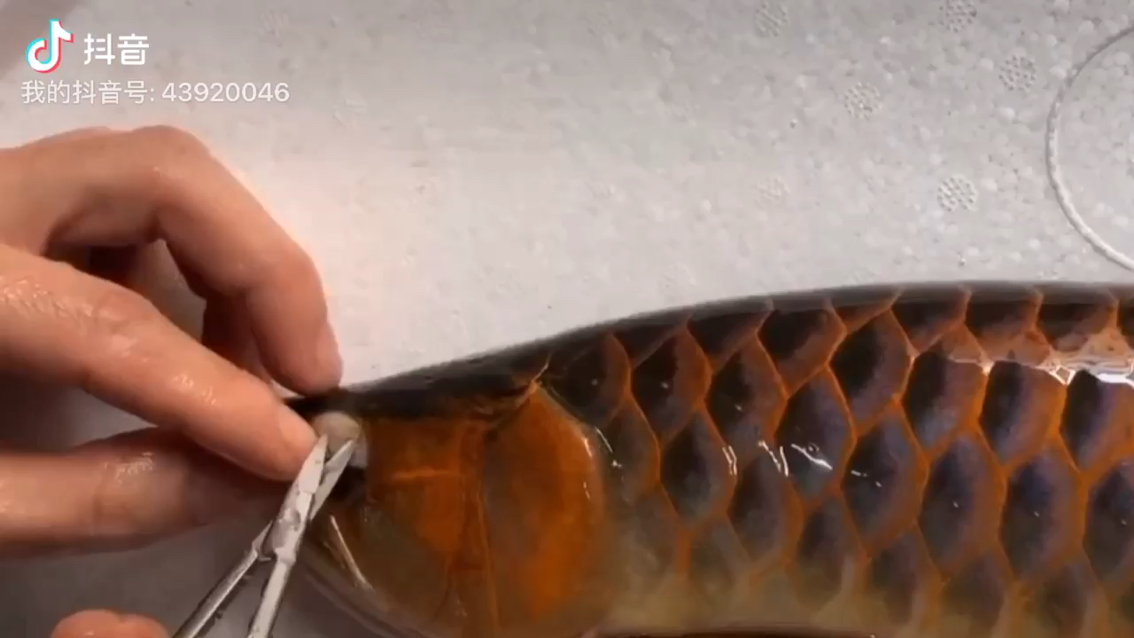 龙鱼掉眼手术 绵阳水族批发市场 绵阳水族批发市场第1张
