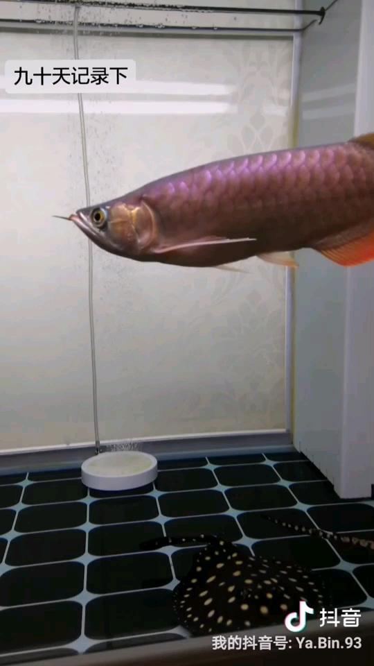 绵阳斑马鱼养殖你们承包了我所有在家茶余饭后的时间