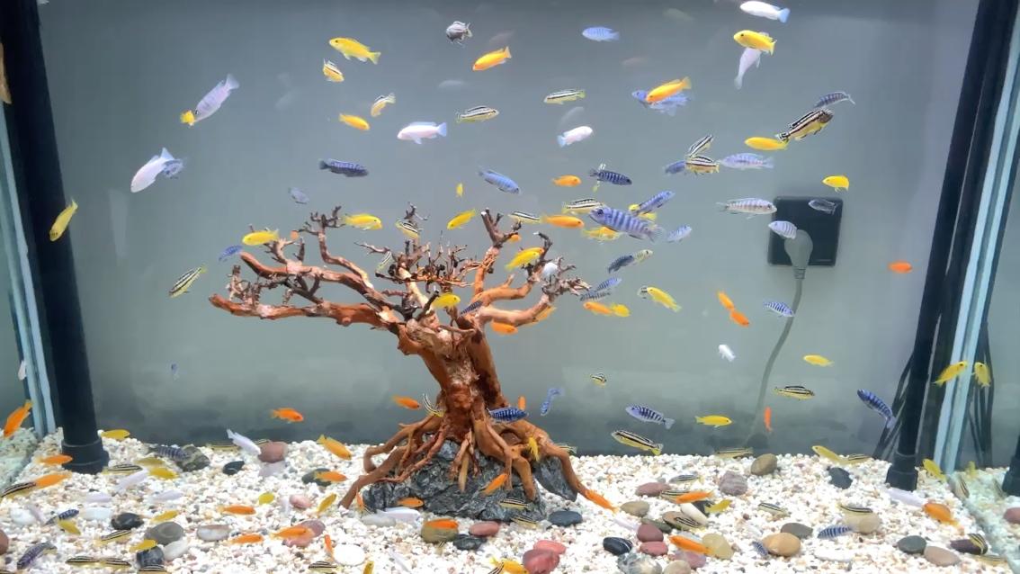 绵阳哪个水族店卖粗线银板鱼一缸沙鲷 绵阳水族批发市场 绵阳水族批发市场第1张