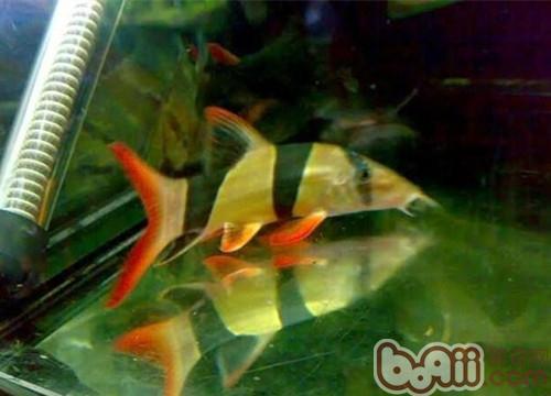 第一次见过这么大的红龙 绵阳龙鱼论坛 绵阳水族批发市场第2张