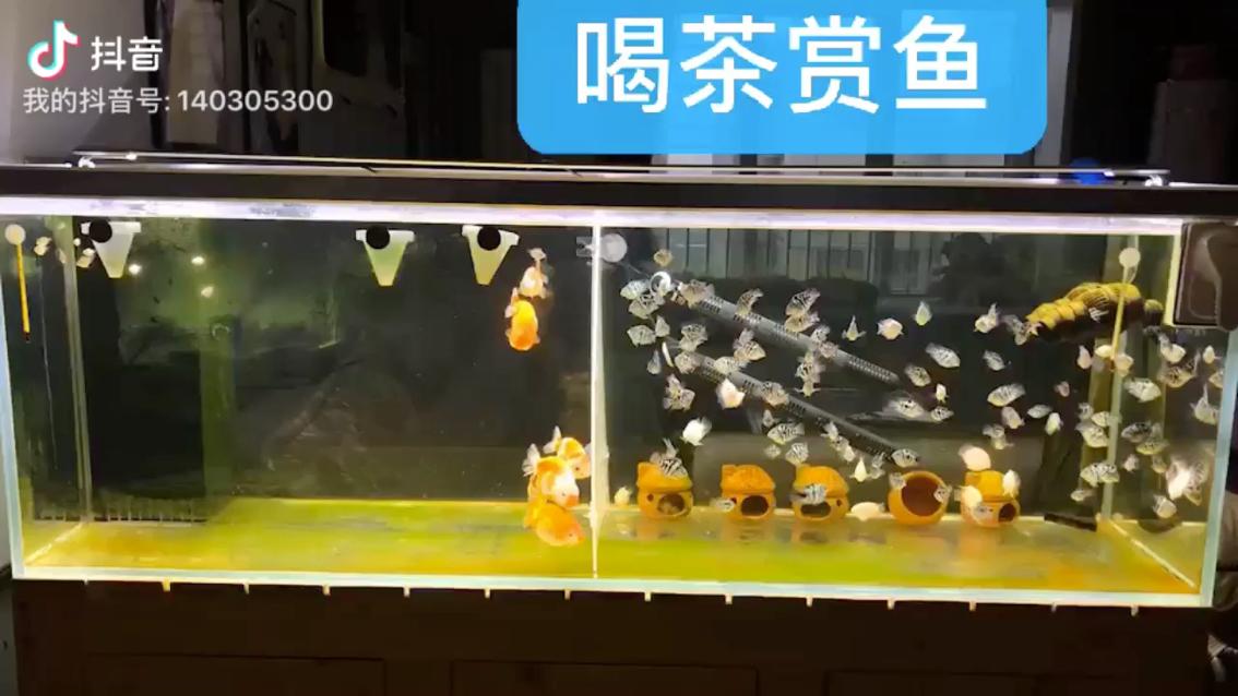 兰寿金鱼萌萌哒