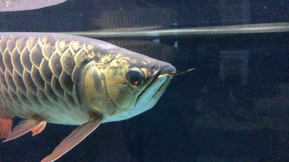 绵阳哪个水族店卖细线银板鱼求救求救 绵阳龙鱼论坛 绵阳水族批发市场第1张