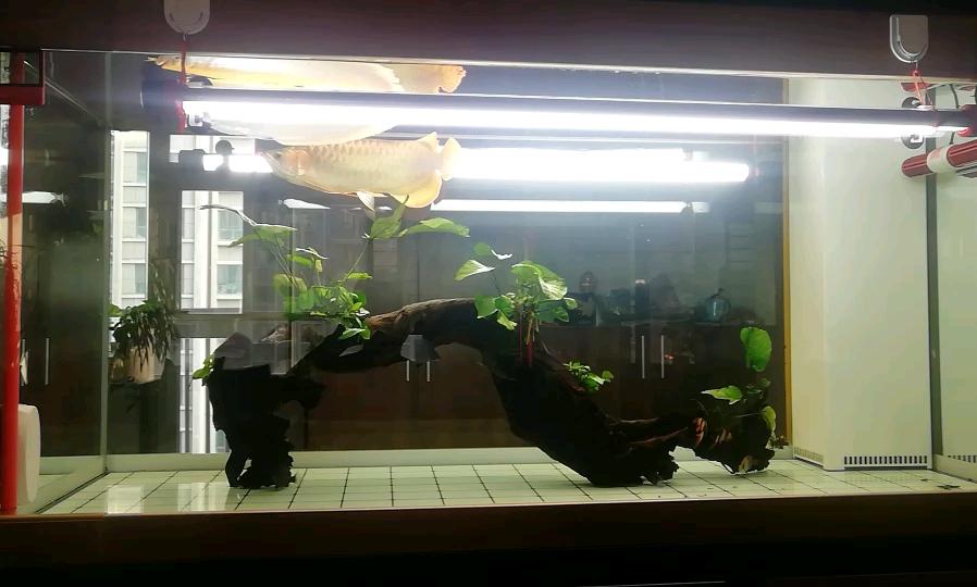 绵阳鹦鹉出售白缸里的龙开始迅猛发色 绵阳龙鱼论坛 绵阳水族批发市场第1张