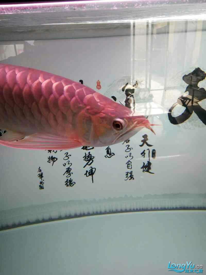 出10个月紫嫣红龙 绵阳水族批发市场 绵阳水族批发市场第2张