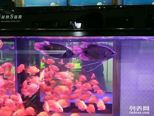 绵阳黑桃a鱼和粗线哪个好孟吉尔~小孟打包 绵阳龙鱼论坛 绵阳水族批发市场第2张