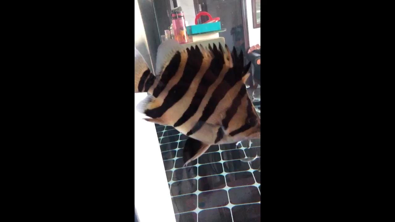 绵阳白子关刀鱼哪个店的最好气球虎 绵阳龙鱼论坛 绵阳水族批发市场第1张