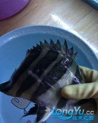 出售超级四纹虎鱼群 绵阳水族批发市场 绵阳水族批发市场第1张