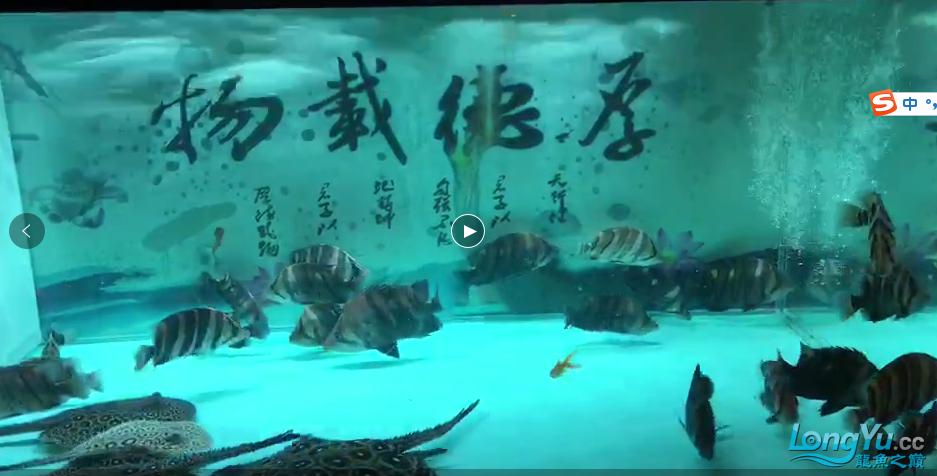 出售超级四纹虎鱼群 绵阳水族批发市场 绵阳水族批发市场第3张
