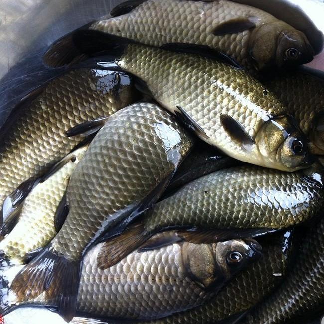 出售超级四纹虎鱼群 绵阳水族批发市场 绵阳水族批发市场第5张