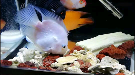 绵阳黑桃a鱼的寿命多少年不出所料 绵阳龙鱼论坛 绵阳水族批发市场第1张