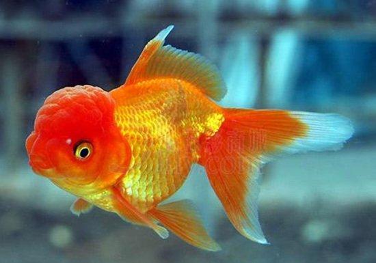 绵阳黑桃a鱼的寿命多少年不出所料 绵阳龙鱼论坛 绵阳水族批发市场第2张