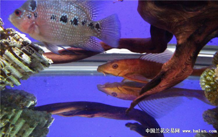 没开灯比开灯还红 绵阳龙鱼论坛 绵阳水族批发市场第2张