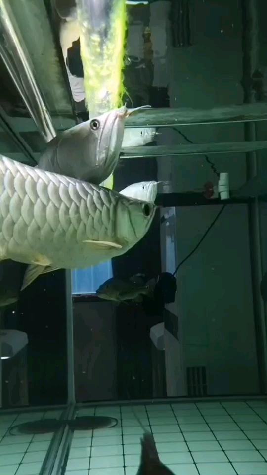 绵阳银龙苗喂什么个性的水藻 绵阳龙鱼论坛 绵阳水族批发市场第1张