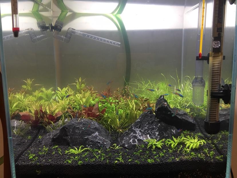 绵阳皇冠黑白魟鱼多久繁殖新手的第一个草缸